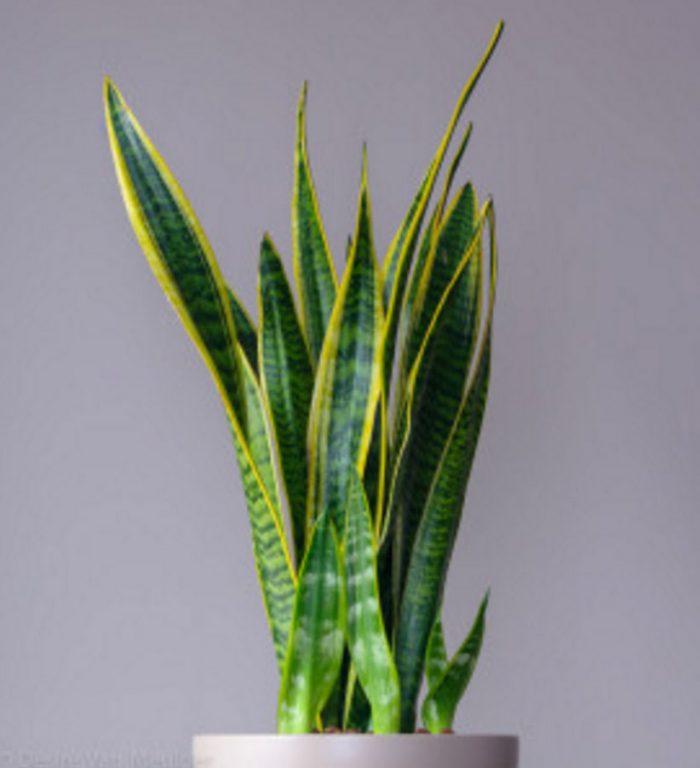 Plantadeserpiente
