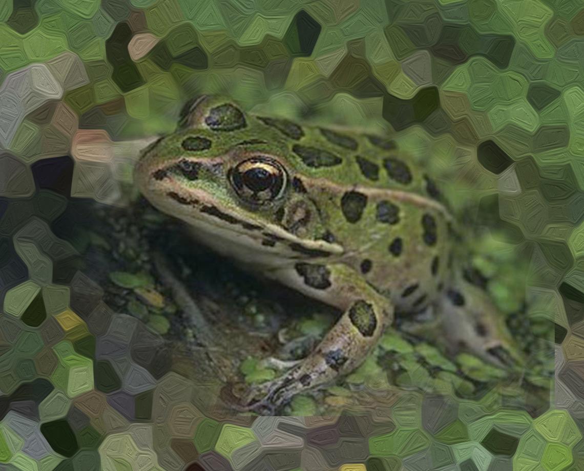 Vegas Valley Leopard Frog - Best Leopard 2017